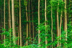 Troncos de árvore retos foto de stock