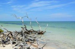Troncos de árvore secos em Cayo Jutias Foto de Stock Royalty Free