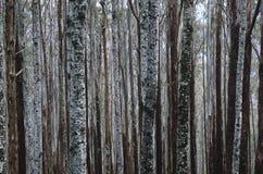 Troncos de árvores de cinza da montanha do eucalipto Foto de Stock