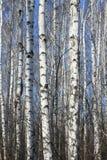 Troncos de árvores de vidoeiro contra o céu azul Fotografia de Stock