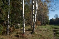 Troncos de abedules al borde de la madera del otoño imagen de archivo libre de regalías
