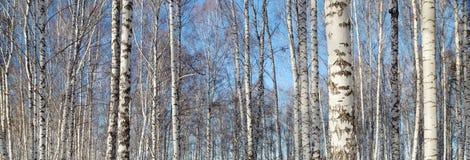 Troncos de abedules en bosque del invierno Imagen de archivo libre de regalías