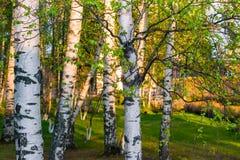Troncos de abedules, iluminados por el sol de la tarde en la puesta del sol con las hojas verdes jovenes, Foto de archivo libre de regalías