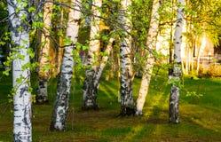 Troncos de abedules, iluminados por el sol de la tarde en la puesta del sol con las hojas verdes jovenes, Fotos de archivo libres de regalías