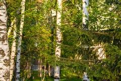 Troncos de abedules, iluminados por el sol de la tarde en la puesta del sol con las hojas verdes jovenes, Fotos de archivo