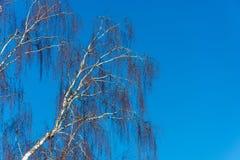 Troncos de abedules sin las hojas contra el cielo azul Imágenes de archivo libres de regalías