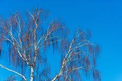 Troncos de abedules sin las hojas contra el cielo azul Fotos de archivo