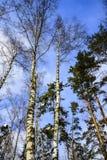 Troncos de abedules y de pinos en un Forest Park en un día escarchado del invierno soleado contra el cielo azul Rusia Foto de archivo libre de regalías