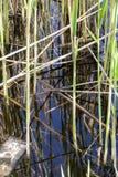 Troncos de lámina comunes en el agua del pantano natural del karst del dragomán en Bulgaria foto de archivo