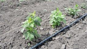 Troncos de la irrigación por goteo de la frambuesa con la Agua-manguera metrajes
