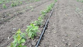Troncos de la irrigación por goteo de la frambuesa con la Agua-manguera almacen de video