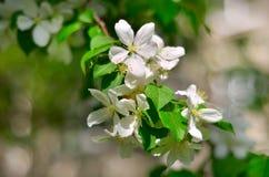 Troncos de las flores blancas en el árbol frutal floreciente Foto de archivo libre de regalías