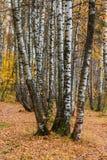 Troncos de los árboles de abedul en troncos del bosque de los árboles de abedul en el bosque del otoño entre las hojas amarillas  Foto de archivo