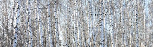 Troncos de los árboles de abedul, panorama con los abedules Imagenes de archivo