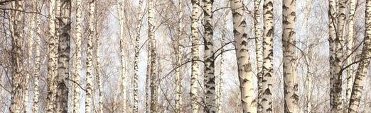 Troncos de los árboles de abedul, panorama con los abedules Imágenes de archivo libres de regalías