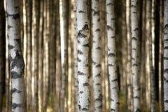 Troncos de los árboles de abedul Foto de archivo