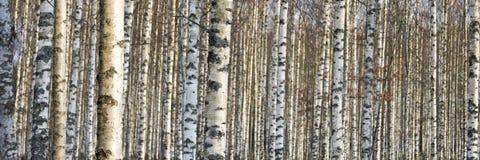 Troncos de los árboles de abedul Imagenes de archivo