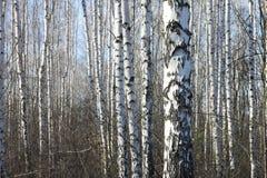 Troncos de los árboles de abedul Imagen de archivo