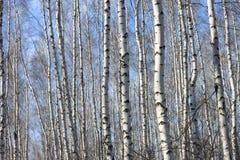 Troncos de los árboles de abedul Fotografía de archivo