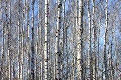 Troncos de los árboles de abedul Fotos de archivo
