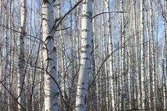 Troncos de los árboles de abedul Fotografía de archivo libre de regalías