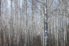 Troncos de los árboles de abedul Fotos de archivo libres de regalías