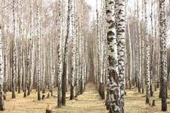 Troncos de los árboles de abedul Arboleda del abedul en primavera temprana Fotografía de archivo libre de regalías
