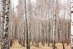 Troncos de los árboles de abedul Arboleda del abedul en primavera temprana Imagenes de archivo