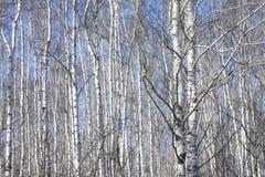 Troncos de los árboles de abedul contra el cielo azul Imagenes de archivo
