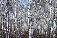 Troncos de los árboles de abedul contra el cielo azul Imagen de archivo