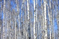 Troncos de los árboles de abedul contra el cielo azul Fotos de archivo