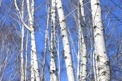 Troncos de los árboles de abedul contra el cielo azul Fotos de archivo libres de regalías