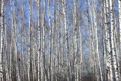 Troncos de los árboles de abedul contra el cielo azul Foto de archivo libre de regalías