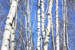 Troncos de los árboles de abedul contra el cielo azul Fotografía de archivo libre de regalías
