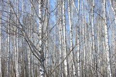 Troncos de los árboles de abedul contra el cielo azul Imágenes de archivo libres de regalías