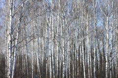 Troncos de los árboles de abedul contra el cielo azul Imagen de archivo libre de regalías