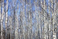 Troncos de los árboles de abedul contra el cielo azul Foto de archivo