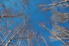 Troncos de los árboles de abedul contra el cielo claro Imagen de archivo libre de regalías