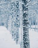 Troncos de los árboles de abedul cubiertos con nieve Foto de archivo libre de regalías