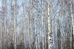 Troncos de los árboles de abedul en abedul-madera Imagen de archivo