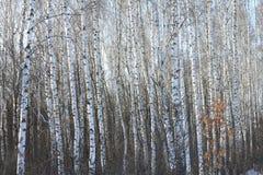 Troncos de los árboles de abedul en abedul-madera Fotografía de archivo