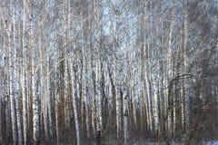 Troncos de los árboles de abedul en abedul-madera Imágenes de archivo libres de regalías