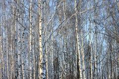 Troncos de los árboles de abedul en abedul-madera Imagenes de archivo