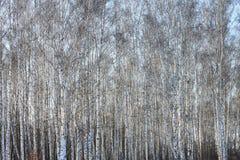 Troncos de los árboles de abedul en abedul-madera Imagen de archivo libre de regalías