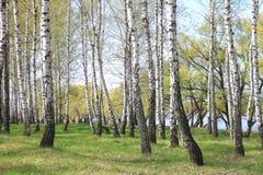 Troncos de los árboles de abedul en bosque Imagenes de archivo