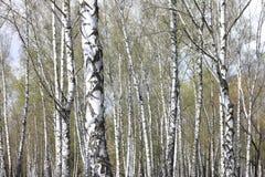 Troncos de los árboles de abedul en bosque Fotografía de archivo libre de regalías