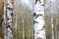 Troncos de los árboles de abedul en bosque Foto de archivo