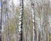 Troncos de los árboles de abedul en bosque Imagen de archivo
