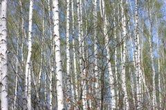 Troncos de los árboles de abedul en bosque Imágenes de archivo libres de regalías