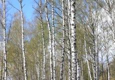 Troncos de los árboles de abedul en bosque Fotos de archivo libres de regalías